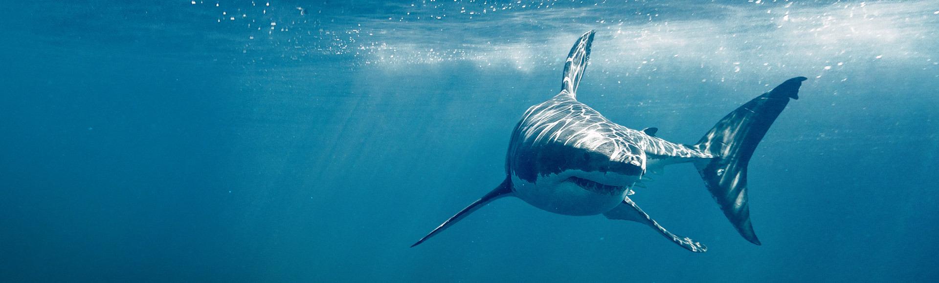 Köpekbalığı Ayı
