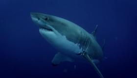 Büyük beyaz köpekbalıklarını görüntülemek