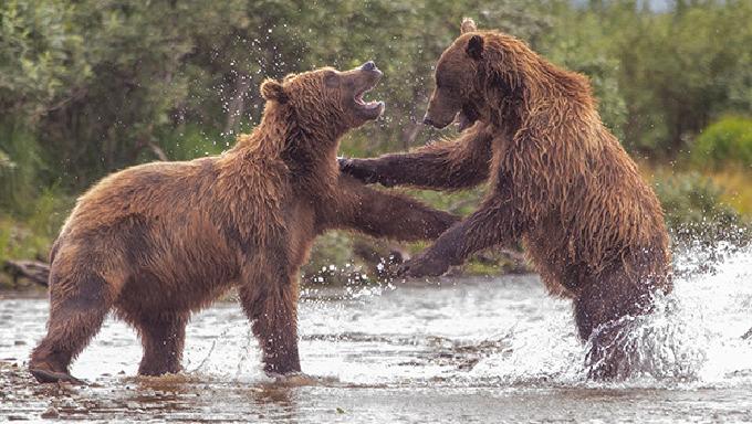 Alaska'nın en vahşi hayvanları